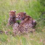 Gepardin mit 2 Babys fressen eine Thomsongazelle