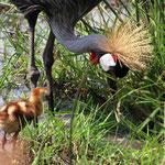 Familie Kronenkranich mit ihren 2 Kindern