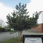 Waldkiefer_Baum des Jahres 2007