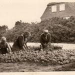 Lange Reihe 24: Kartoffelsortierung