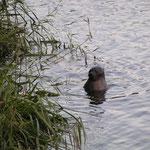 Kegelrobbe hat sich im Kanal verirrt- 2011_09