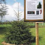 Fichte_Baum des Jahres 2017