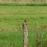 Schwarzkehlchen im Krummesser Moor