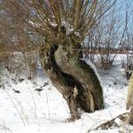Kopfweide - Winter 2007