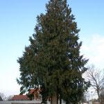 Lebensbaum am Friedhofsrand Lübecker Straße