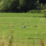Graureiher im Krummesser Moor