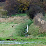 Silberreiher im Beidendorfer Landgraben