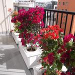 沖縄タイムス社 スマートコンテナ植栽 植物:ブーゲンビリア
