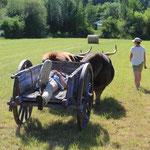 """Formation """"Initiation à la traction bovine"""" (juin 2021)"""