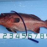 コクハンアラ104cm/19.8kg エクストリームラバー14.5mm一本引き