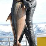 ヒレナガカンパチ18.5kg