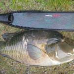 ナポレオンフィッシュ22.6kg Spearmaster - アイスピック+Carbonio G.F.T - Agguato