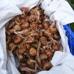 les bulbes-safran-saint-gaudinois