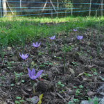 fleurs-safran-saint-gaudinois