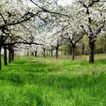 Kirschblüte am Weinberg