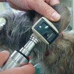 耳の検査。炎症やミミダニがいないかどうかチェックします。