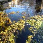 Végétation dans un bassin