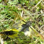 Ascalaphus libelloides s'accouplent. Ces insectes attrapent d'autres insectes en vol.