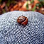 Rötliche Laubschnecke (Gräfenbachtal) Monachoides incarnatus