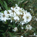 Brombeerblüten (Rubus sp.)