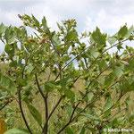 Tollkirsche im Frühsommer (Atropa belladonna)