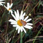 Margerite (Leucanthemum vulgare) und Brauner Feuerfalter (Lycaena tityrus)