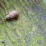 Würfeleckiger Staubrüssler (Liophloeus tessulatus)