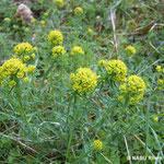 Zypressenwolfsmilch (Euphorbia cyparissias)
