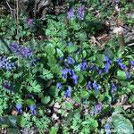 Lerchensporn (Corydalis cava) und Wald-Veilchen (Viola reichenbachiana)