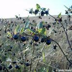 Tollkirsche im Spätsommer (Atropa belladonna)