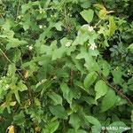 Zaunrübe (Bryonia dioica)
