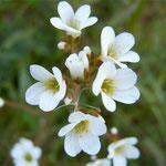 Knöllchen-Steinbrech (Saxifraga granulata)