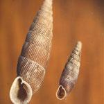 Große und Zweizähnige Schließmundschnecke (Stromberg) Alinda biplicata & Clausilia bidentata
