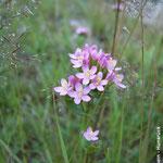 Tausendgüldenkraut (Centaurium erythraea); unter Naturschutz