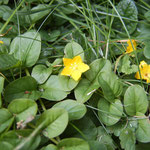 Pfenning-Gilbweiderich (Lysimachia nummularia)
