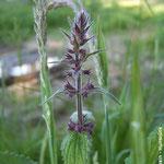 Sumpf-Ziest (Stachys palustris)
