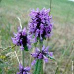 Gemeiner Ziest (Stachys officinalis)