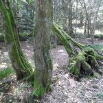 alte Bäume im Erlenbestand