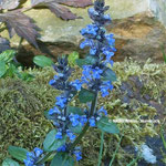 Braunelle (Prunella grandiflora)