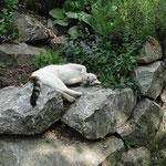 Hauskatze mit Katzenminze (in Dörth)