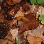 Pilzschnegel (Hochsteinchen) Malacolimax tenellus