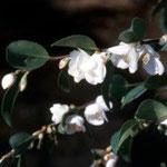 ヒメサザンカ::沖縄に分布。花の香りが最も強く交配親に使われる。花期は12〜2月