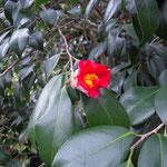 素林庵:産地は福井県。花期は3〜4月
