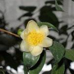 チョウセイキンカチャ:産地は中国、広西自治区天等県。花期は11〜2月。中国名は頂生金花茶