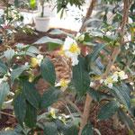 キッシー(香港):産地は香港。花期は11〜12月。中国名は落弁油茶