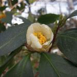 コンフューサ:産地はタイ。花期は10〜12月