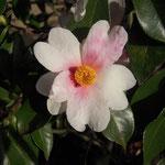 夢:産地は新潟県。花期は11月〜3月