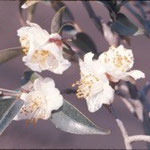 クスピダータ:産地は中国、湖南省ほか。花期は1〜4月。中国名は尖葉山茶
