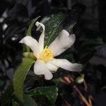タイワンサザンカ:産地は台湾。花期は11〜12月
