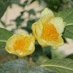 チョウチュウキンカチャ:産地は中国、広西自治区南部。花期は1〜2月。中国名は金花茶